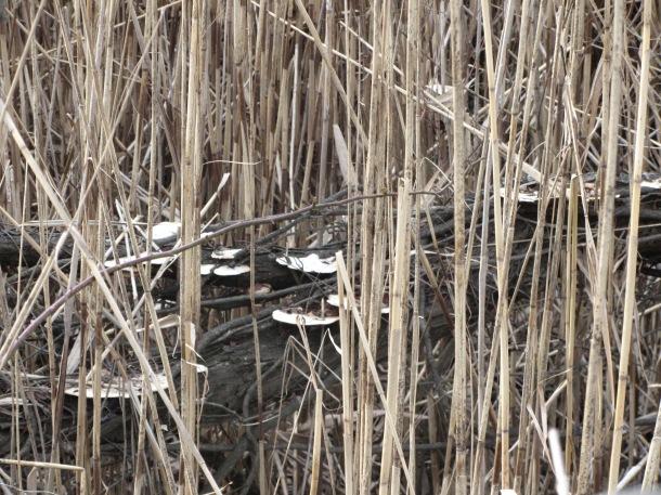 Mushrooms hidden in the reeds