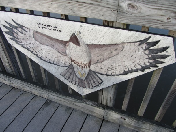 Wingspan of a Red Tailed Hawk