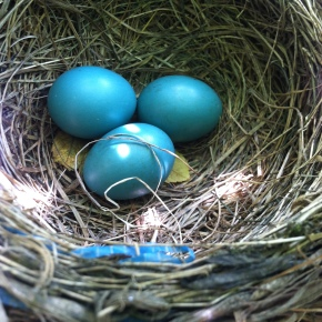 A Nest of Robins – From Blue Eggs to Flight